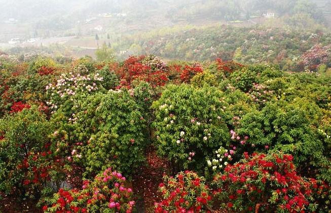 贵州风景图片百里杜鹃